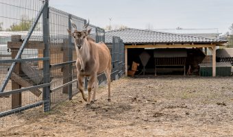 Photo of a common eland at the zoo at Mezhyhirya.