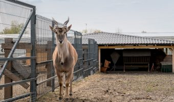 A common eland (also known as eland antelope or southern eland) at the zoo at Mezhyhirya in Kiev Oblast, Ukraine.