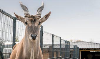 Mezhyhirya - Eland Antelope