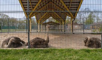Ostriches in the zoo area of Mezhyhirya National Park.