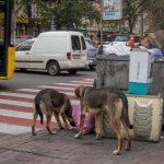 Photo of stray dogs eating garbage in Kiev, Ukraine. Taken in the city centre at the junction of Rohnidynska Street and Shota Rustaveli Street.