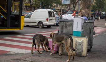 Photo of stray dogs eating garbage in Kiev, Ukraine. Taken in the city centre at the junction of Rohnidynska Street and Shota Rustaveli Street.