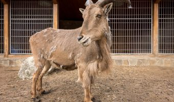 Photo of a Barbary sheep (Ammotragus lervia) a species of caprid (goat-antelope). Taken at the zoo at Mezhyhirya National Park in Kiev Oblast.