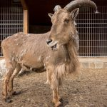 Photograph of a Barbary sheep (Ammotragus lervia) at the zoo at Mezhyhirya National Park in Kiev Oblast.